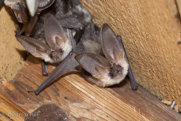 _M2N4232Alpen-Langohr, Plecotus alpinus, Alpine Long-eared Bat