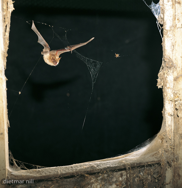000022Wimperfledermaus im Flug, Myotis emarginatus, Geoffroys bat in flight, vespertilion a oreilles echancrees