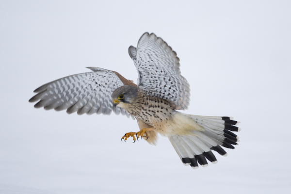_N5K1739Adult Male, Common Kestrel (Falco tinnunculus) Turmfalke, in flight catching prey