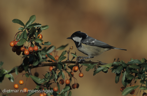 DNA_006484Tannenmeise, Parus ater, coal tit.jpg