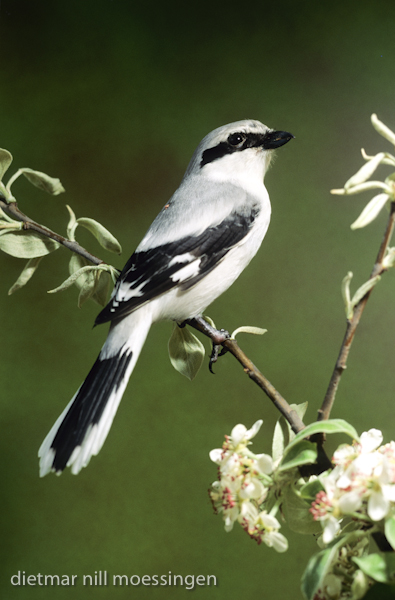 DNA_006800Raubwuerger, Lanius excubitor, great grey shrike