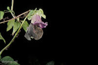 DNA_002217Bluetenfledermaus, Blumenfledermaus, Langzungen-Fledermaus, Glossophaga commissarisi, nectarbat, Commissaris long-tong