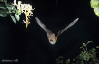 Braunes Langohr, Common long-eared bat