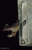 DNA_006485Braunes Langohr im Flug, Plecotus auritus, common long-eared bat in flight, oreillard septentrional