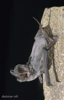 Bulldoggfledermaus, European free-tailed bat