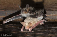 _M2N4197Grosse Mausohren mit Albino, Myotis myotis, Greater mouse-eared Bats with albino