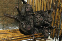 DNA_002202Vampirfledermaus, Desmodus rotundus, vampire bat