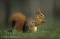 DNA_003406Eichhoernchen, Sciurus vulgaris, red squirrel, ecureuil commun