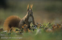 DNA_003411Eichhoernchen, Sciurus vulgaris, red squirrel, ecureuil commun