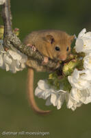_M2N0428Haselmaus auf einem Kirschbaum, Muscardinus avellanarius, Hazel Dormouse at the cherry tree.jpg