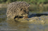 DNA_005332Igel, Erinaceus europaeus, hedgehog, hedgehogs