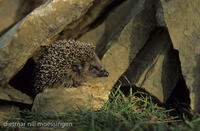 DNA_006018Igel, Erinaceus europaeus, hedgehog, hedgehogs