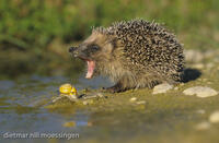 DNA_008310Igel, Erinaceus europaeus, hedgehog, hedgehogs
