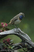 DNA_009613Blaukehlchen, Luscinia svecica, bluethroat.jpg