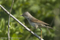 _M2N3499Dorngrasmuecke, Sylvia communis, Whitethroat.jpg