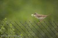 _M2N7811Dorngrasmuecke (Sylvia communis), Whitethroat.jpg