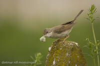 _M2N7821Dorngrasmuecke (Sylvia communis), Whitethroat.jpg