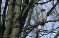 DNA_010335Habicht, Accipiter gentilis, northern goshawk