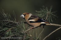 DNA_008408Kernbeisser, Coccothraustes coccothraustes, hawfinch.jpg