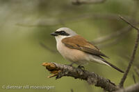HF6M3350Neuntoeter Maennchen (Lanius collurio), Red-backed Shrike.jpg