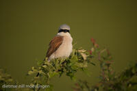 _M2N8815Neuntoeter (Lanius collurio), Red-backed Shrike.jpg