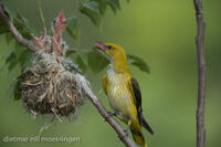 _M2N4547Pirol, Oriolus oriolus, Golden oriole feeding the young.jpg