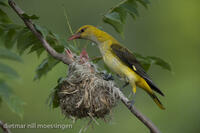 _M2N4566Pirol, Oriolus oriolus, Golden oriole feeding the young.jpg
