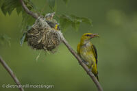 _M2N4748Pirol am Nest, Oriolus oriolus, Golden oriole at the nest.jpg