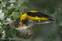 _M2N4887Pirol am Nest, Oriolus oriolus, Golden oriole at the nest.jpg