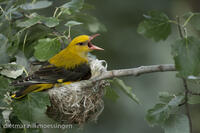 _M2N4913Pirol im Nest, Oriolus oriolus, Golden oriole in the nest.jpg