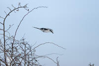 _F6M9434Great Grey Shrike (Lanius excubitor), Raubwuerger, in flight from wild brier